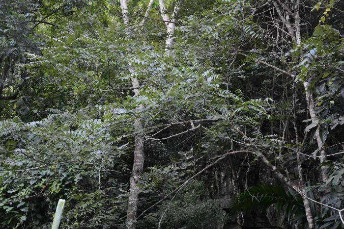 Juglans jamaicensis subsp. insularis. Viñales National Park, Pinar del Rio, Cuba.