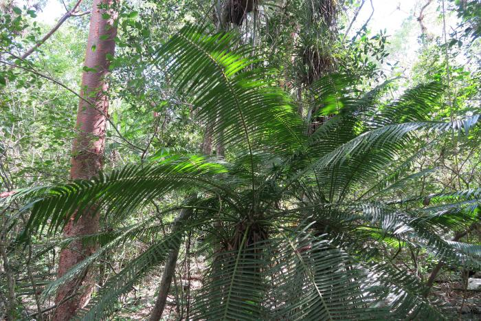 Microcycas calocoma (CR) belongs to a monospecific genus of cycads. Only 600 individuals exist exclusively in the Province of Pinar del Rio. Viñales National Park, Pinar del Rio, Cuba.