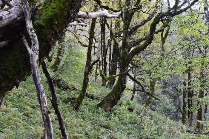 Old Acer pseudoplatanus trees