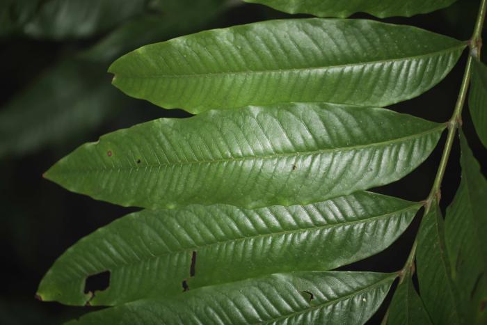 Large leaves of Alfaroa manningii