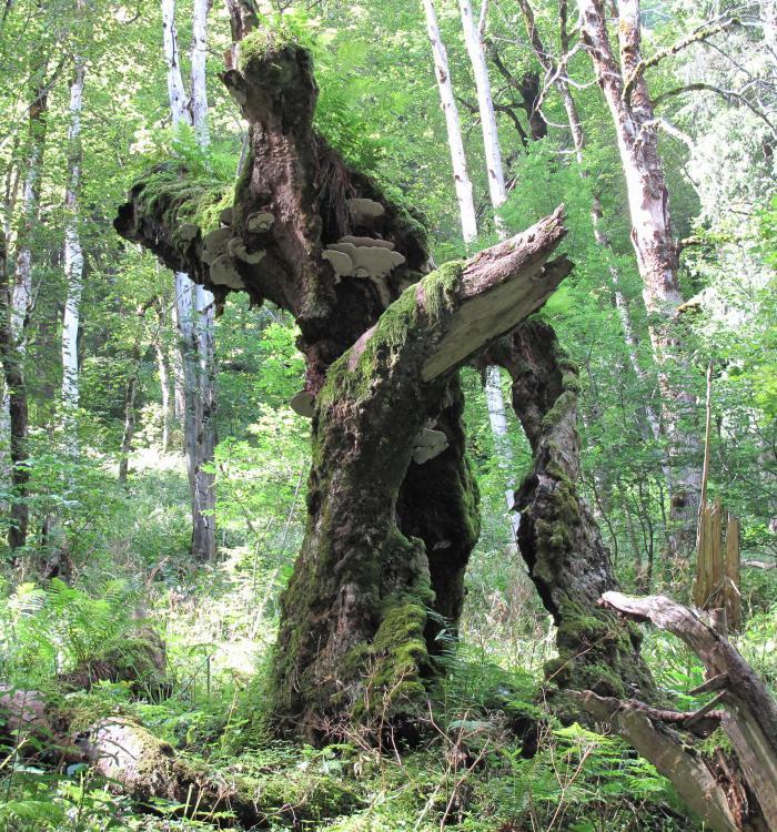 Old Acer pseudoplatanus