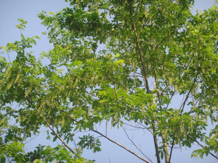 Pterocarya tonkinensis (Pu Mat National Park)