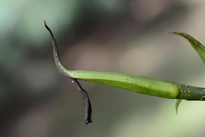 Pterocarya macroptera var. delavayi with caducous bud scales, Royal Botanic Garden Edinburgh