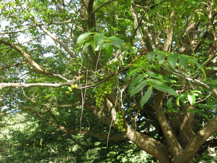 Pterocarya x rehderiana, a hybrid between P. fraxinifolia and P. stenoptera