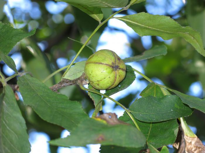 Fruits of Carya ovata, Arnold Arboretum
