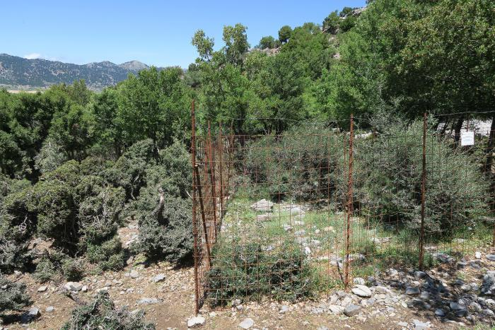 Outside and inside – differences in growth of Zelkova abelicea individuals in an area that was fenced 3 yr ago in western Crete.
