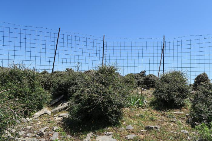 Dense growth for previously browsed Zelkova abelicea in a plot in western Crete.