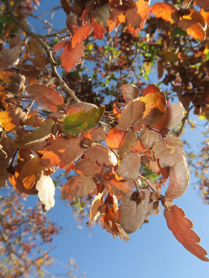 Autumnal leaves of Zelkova abelicea, with fruit.