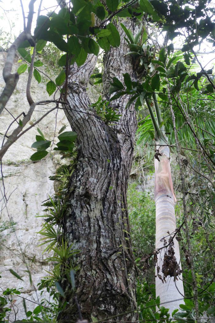 Juglans jamaicensis subsp. jamaicensis. Topes de Collantes Nature Reserve Park, Cienfuegos, Cuba.