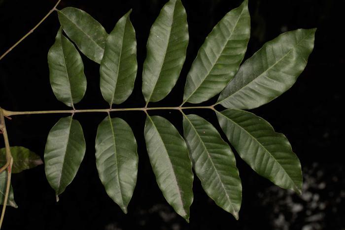 Alfaropsis roxburghiana. Botanic Garden of the VNUF