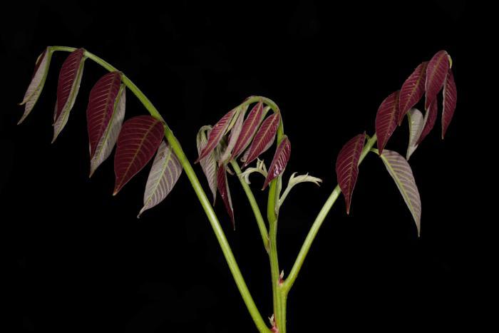 Carya sinensis (Cuc Phuong National Park)