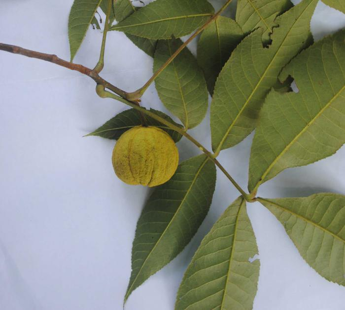 Carya tonkinensis (Son La Province)