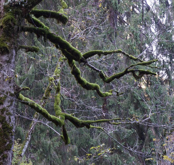 Epiphytic Bryophytes