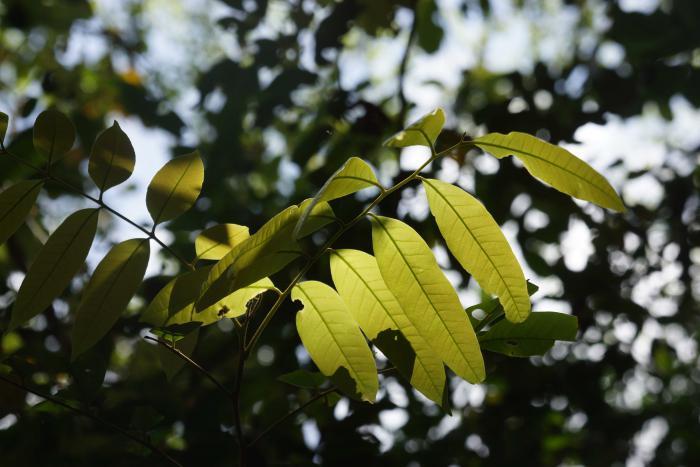 Engelhardia spicata (Con Dao National Park)