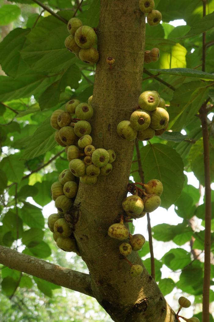 Ficus auriculata (Botanic Garden of VNUF)