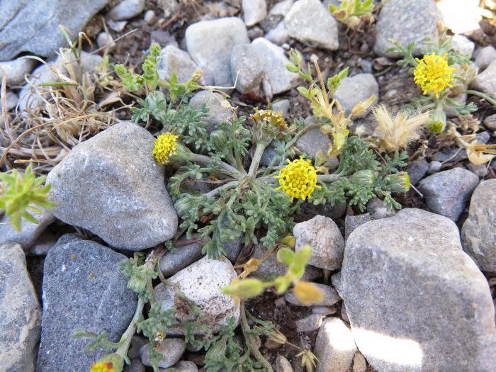Anthemis rigida subsp rigida, an annual species growing in several plots