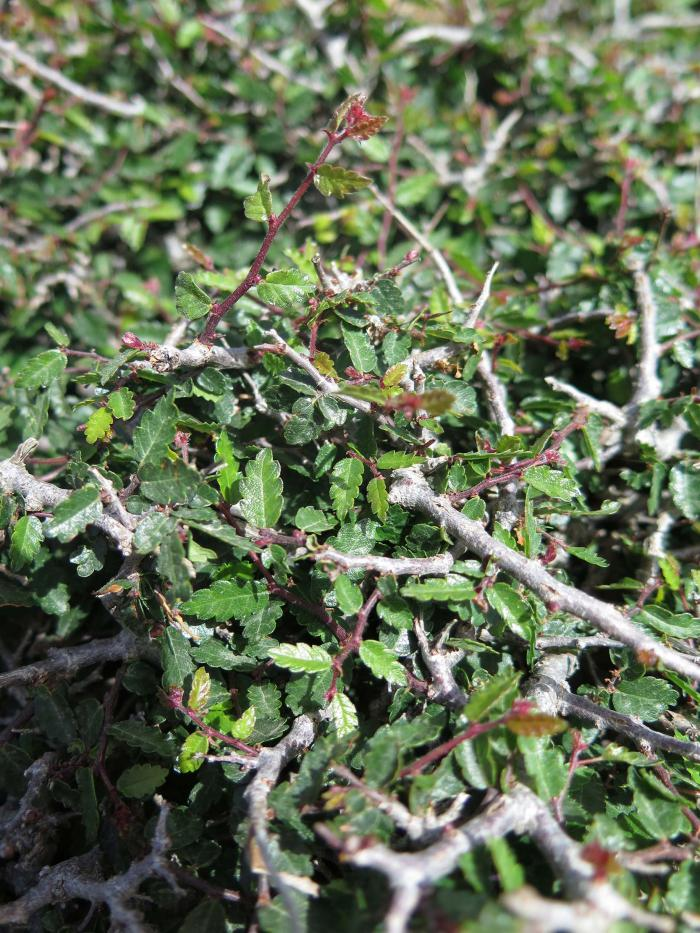 Outside the fenced plots, browsed shoots are usually less than 10 cm long
