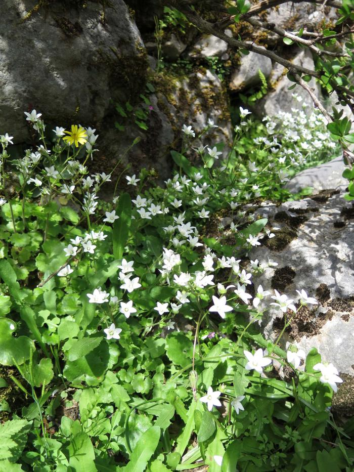 Saxifraga rotundifolia subsp. chrysosplenifolium, a bisannual plant recorded inside the fenced plots