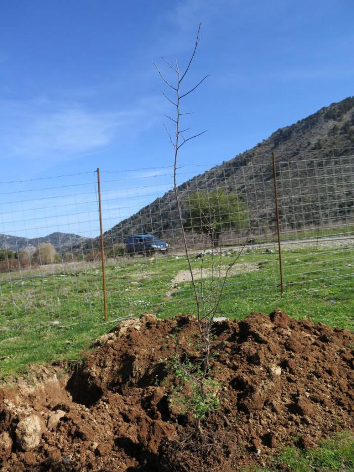 Young Z. abelicea tree waiting to be planted