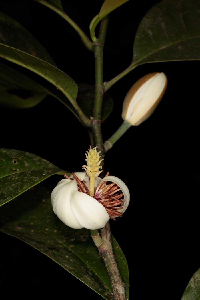 Michelia aenea (Cuc Phuong National Park)