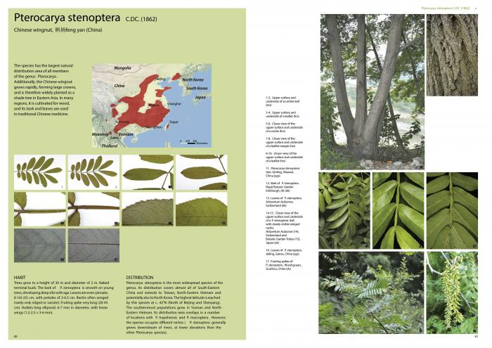 Pages with Pterocarya stenoptera