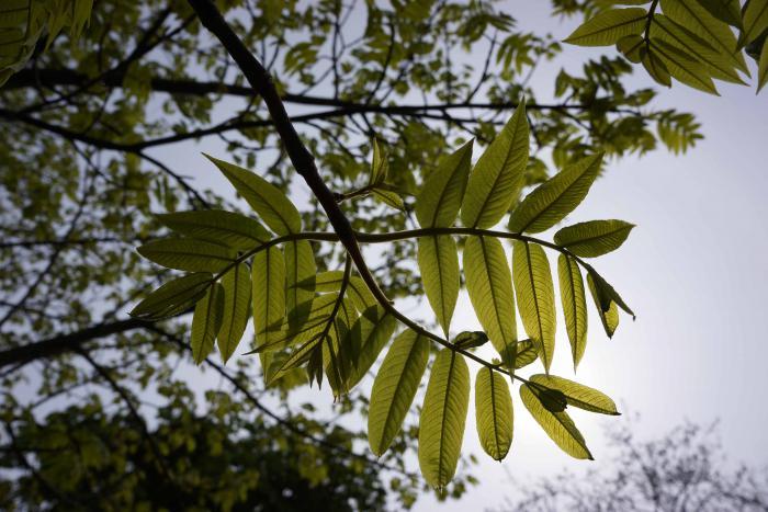 Pterocarya macroptera var. macroptera, Royal Botanic Garden Edinburgh