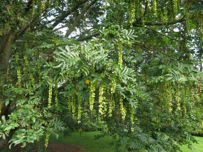 Fruits of Pterocarya rhoifolia, Royal Botanic Garden Edinburgh