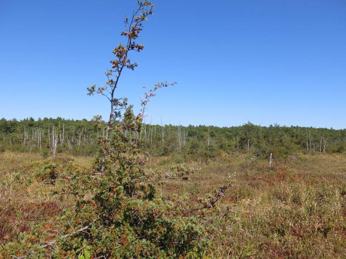 Peatbog with Chamaecyparis thyoides, Blue Hills Reservation